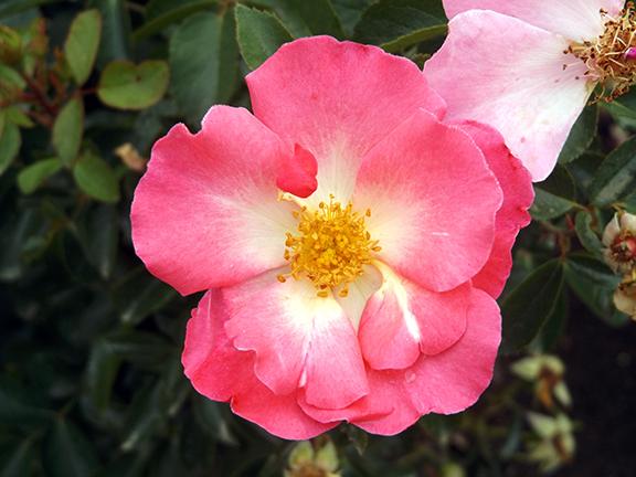 Heirloom-Roses-Saint-Paul-Oregon9