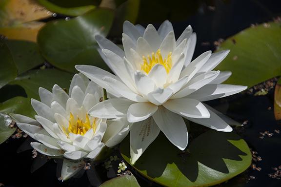 Hughes-Water-Gardens-Tualatin7