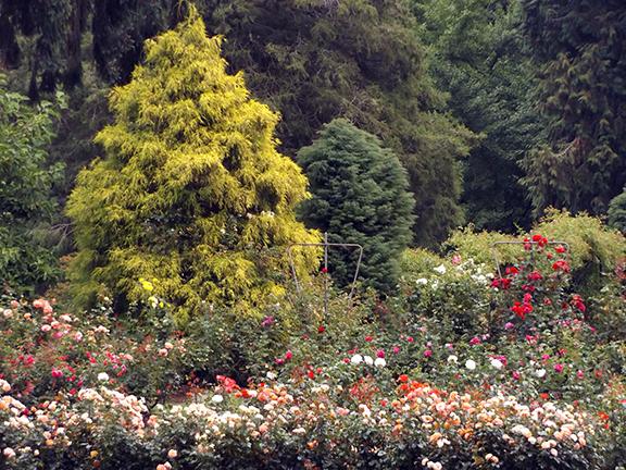 International-Rose-Test-Garden-Portland2