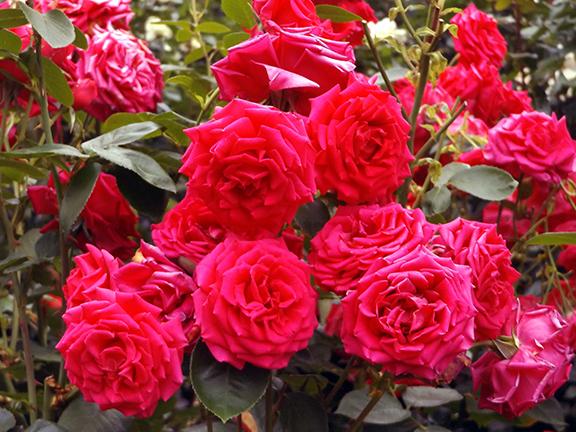 International-Rose-Test-Garden-Portland3