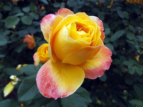 International-Rose-Test-Garden-Portland7