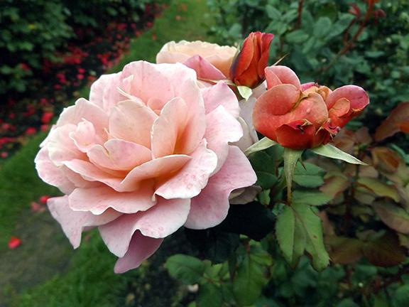 International-Rose-Test-Garden-Portland8