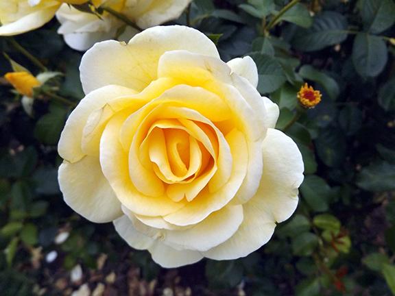 International-Rose-Test-Garden-Portland9