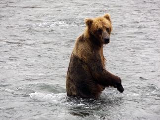 Katmai-National-Park-and-Preserve-bear-cub