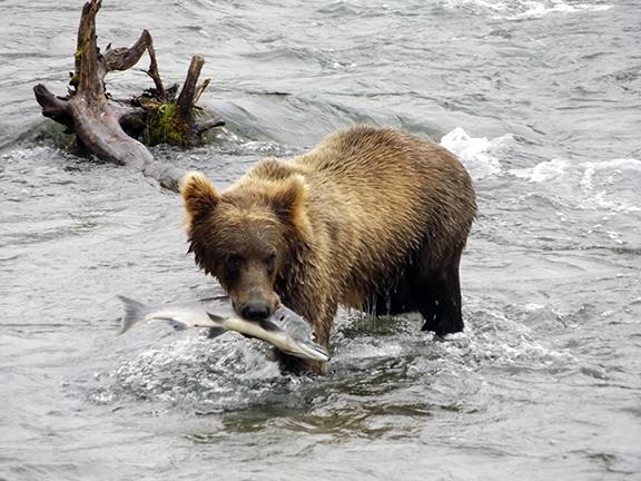 Katmai-National-Park-and-Preserve-bear-cub3