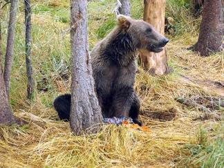 Katmai-National-Park-and-Preserve-bear-cub4