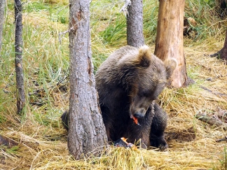 Katmai-National-Park-and-Preserve-bear-cub5