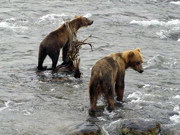 Katmai-National-Park-and-Preserve-bear-cubs