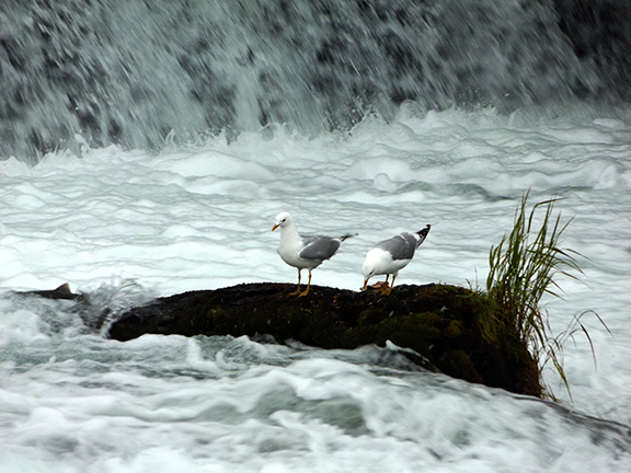 Katmai-National-Park-and-Preserve-gulls-at-Brooks-Falls