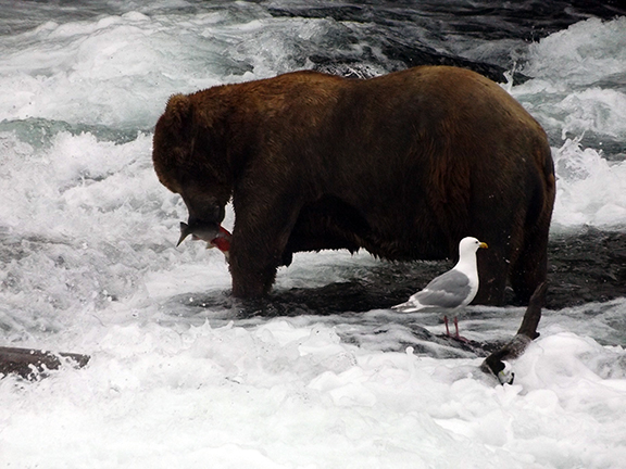 Katmai-National-Park-and-Preserve-male-bear-at-Brooks-Falls3