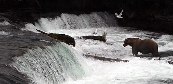Katmai-National-Park-and-Preserve-male-bear-at-Brooks-Falls5