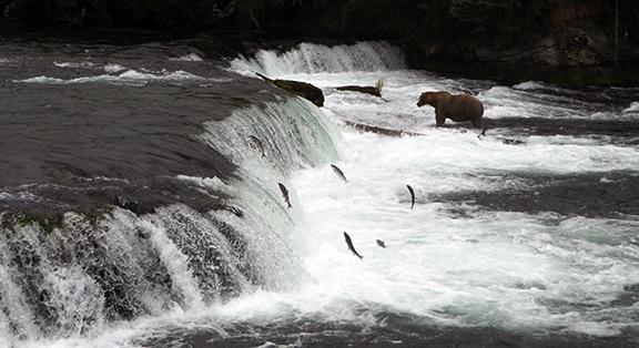 Katmai-National-Park-and-Preserve-male-bear-at-Brooks-Falls6