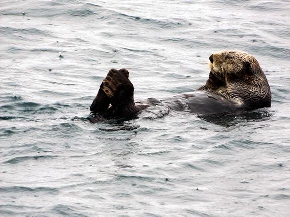 Kenai-Fjords-National-Park-boat-tour-sea-otter