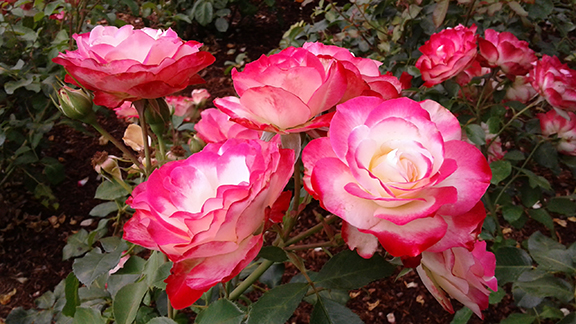 Ladd-Circle-Park-and-Rose-Garden-Portland3