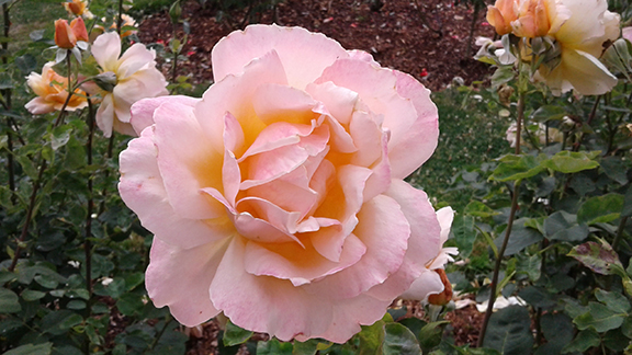 Ladd-Circle-Park-and-Rose-Garden-Portland4