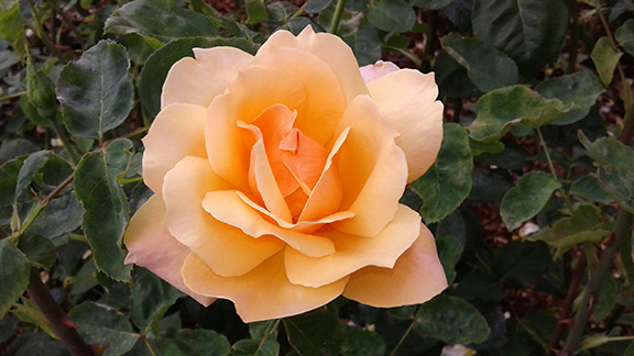Ladd-Circle-Park-and-Rose-Garden-Portland6