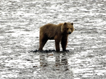 Lake-Clark-National Park-and-Preserve-bear-tour-bear-at-Chinitna-Bay