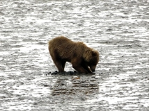 Lake-Clark-National Park-and-Preserve-bear-tour-bear-at-Chinitna-Bay2