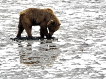 Lake-Clark-National Park-and-Preserve-bear-tour-bear-at-Chinitna-Bay3