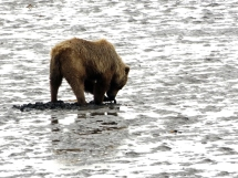Lake-Clark-National Park-and-Preserve-bear-tour-bear-at-Chinitna-Bay4