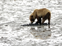 Lake-Clark-National Park-and-Preserve-bear-tour-bear-at-Chinitna-Bay5