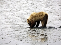 Lake-Clark-National Park-and-Preserve-bear-tour-bear-at-Chinitna-Bay6