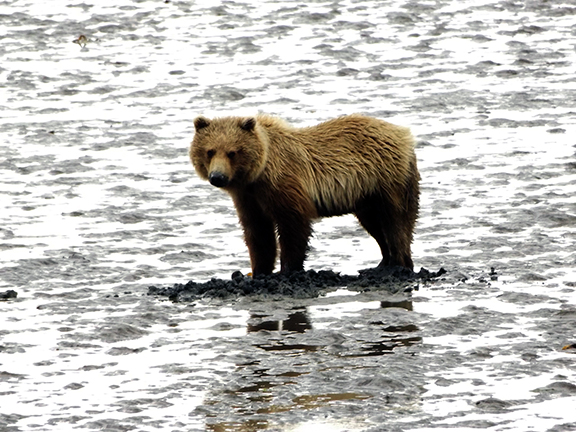 Lake-Clark-National Park-and-Preserve-bear-tour-bear-at-Chinitna-Bay7