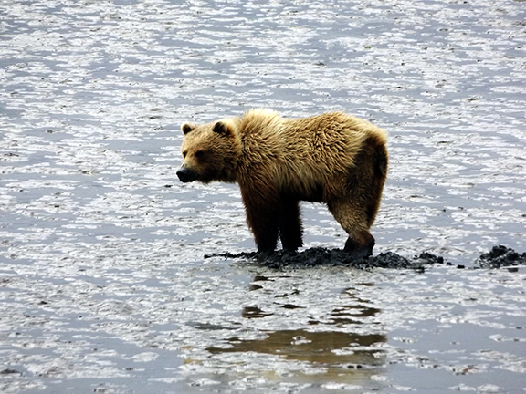Lake-Clark-National Park-and-Preserve-bear-tour-bear-at-Chinitna-Bay8
