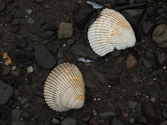Lake-Clark-National Park-and-Preserve-bear-tour-clam-shells-at-Chinitna-Bay