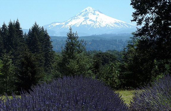 Oregon-Lavender-Farm-Oregon-City