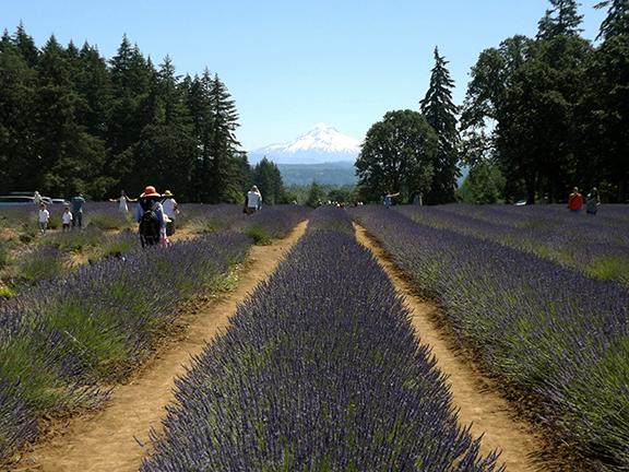 Oregon-Lavender-Farm-Oregon-City3