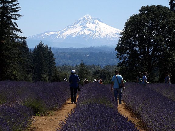 Oregon-Lavender-Farm-Oregon-City5