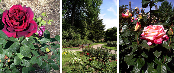 Owen-Rose-Garden-Eugene-Oregon11