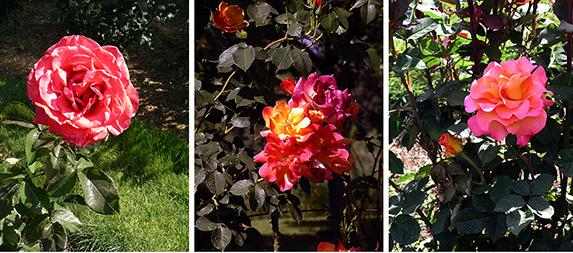 Owen-Rose-Garden-Eugene-Oregon12