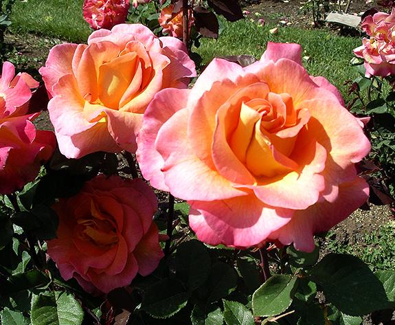 Owen-Rose-Garden-Eugene-Oregon2