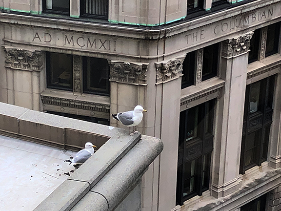 parents-of-Gulliver-the-Seagull-Boston-Rowan-Walrath