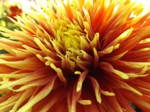 dahlia-orange-and-yellow-Swan-Island-Dahlias