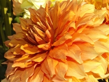 dahlia-orange-Swan-Island-Dahlias