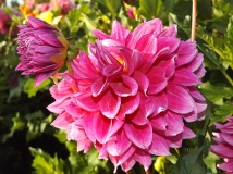 dahlia-pink-Swan-Island-Dahlias