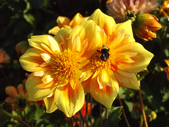 dahlia-with-bee-Swan-Island-Dahlias