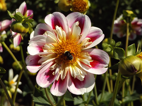 dahlia-with-bee-Swan-Island-Dahlias2