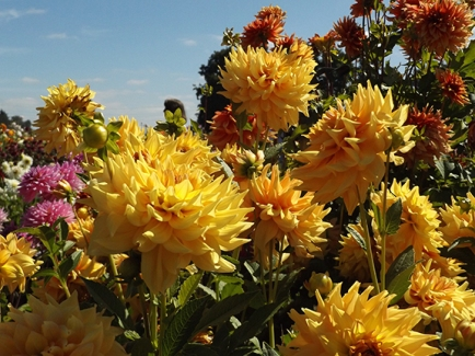dahlia-yellow-Swan-Island-Dahlias