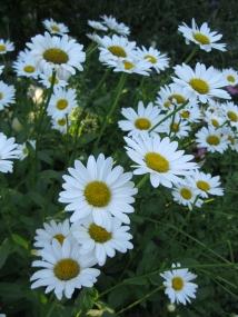 daisies-Acton-Arboretum-summer