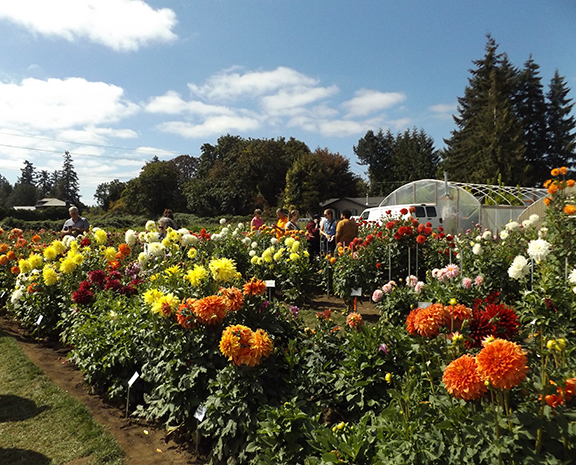 demonstration-gardens-Swan-Island-Dahlias