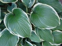 leaves-Acton-Arboretum-summer2