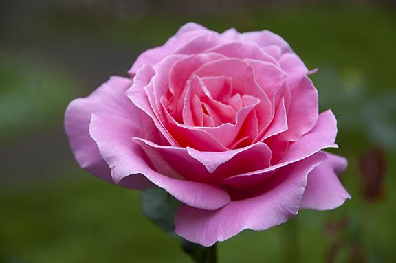 rose-upper-garden-The-Grotto-Portland