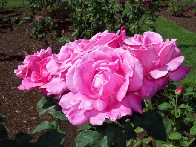 roses-at-Bushs-Pasture-Park-Salem-Oregon