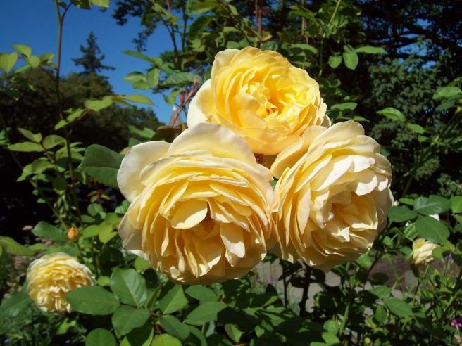 roses-Deepwood-House-Salem-Oregon