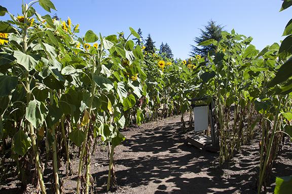 sunflower-field-Lee-Farms-Tualatin-Oregon
