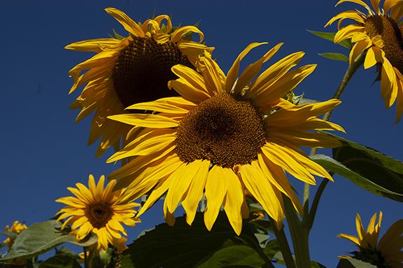 sunflowers-Lee-Farms-Tualatin-Oregon